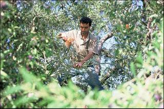 Palestinian-olives