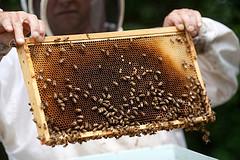 Bees3647635111_b70982934e_m