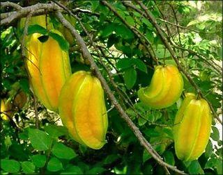 Carambola_a__2_starfruit222