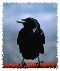 Am_crow