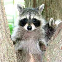 Raccoon0008